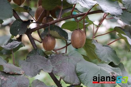 Rize'de kivi hasat tarihi 15 Kasım olarak belirlendi